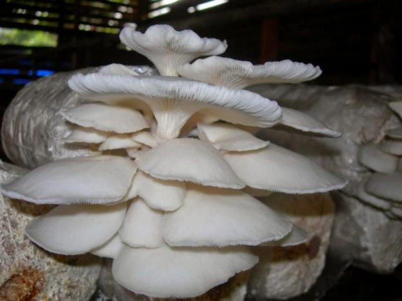 jamur tiram segar